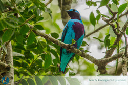 Copy of lovely cotinga3