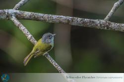 Copy of yellow-olive flycatcher (Tolmomy
