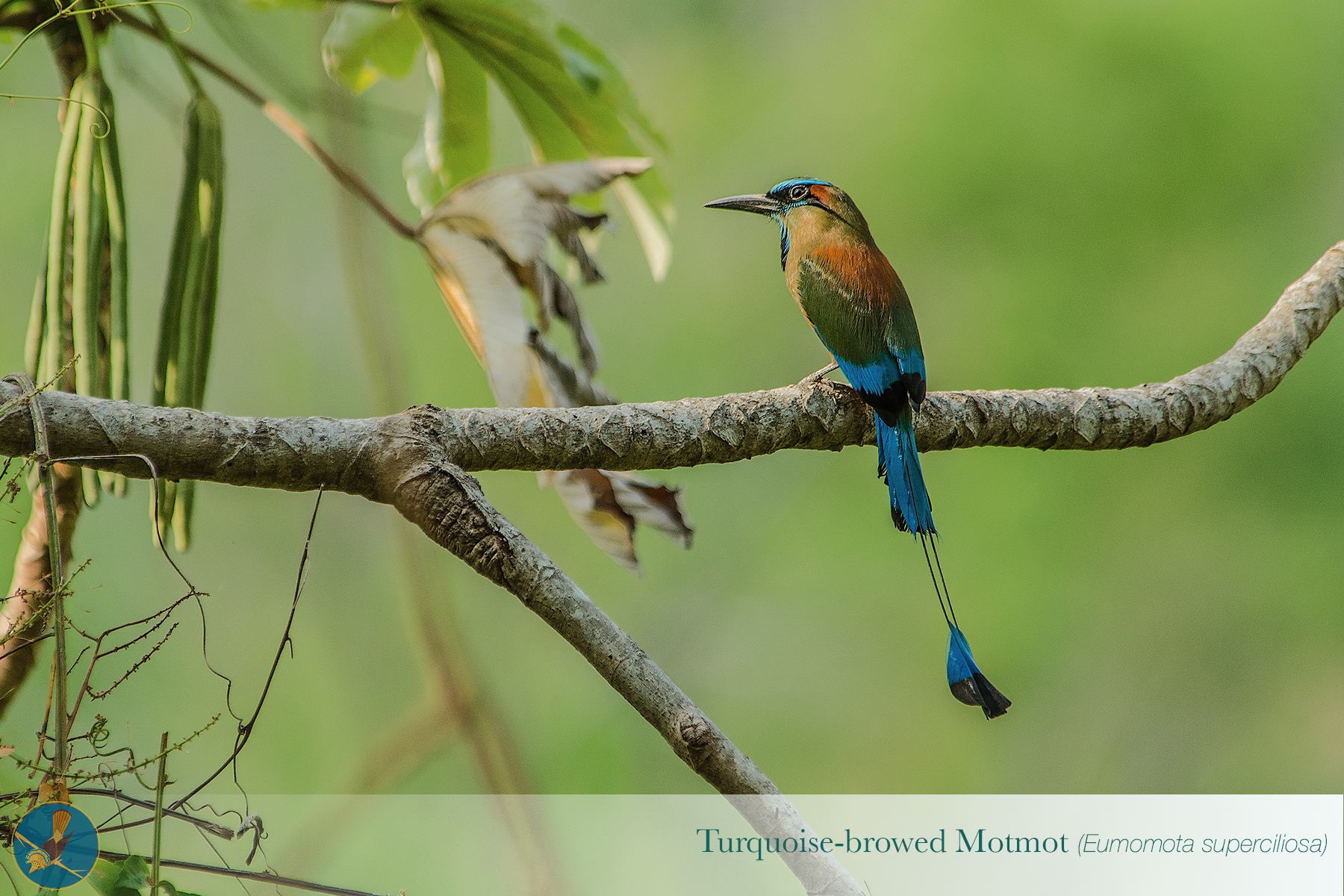 Copy of Turquoise Browed Motmot2