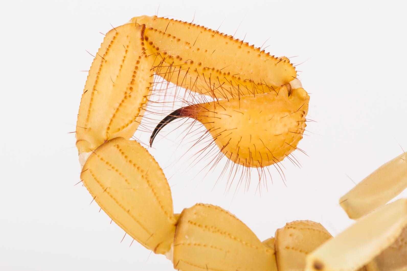 Hadrurus arizonensis