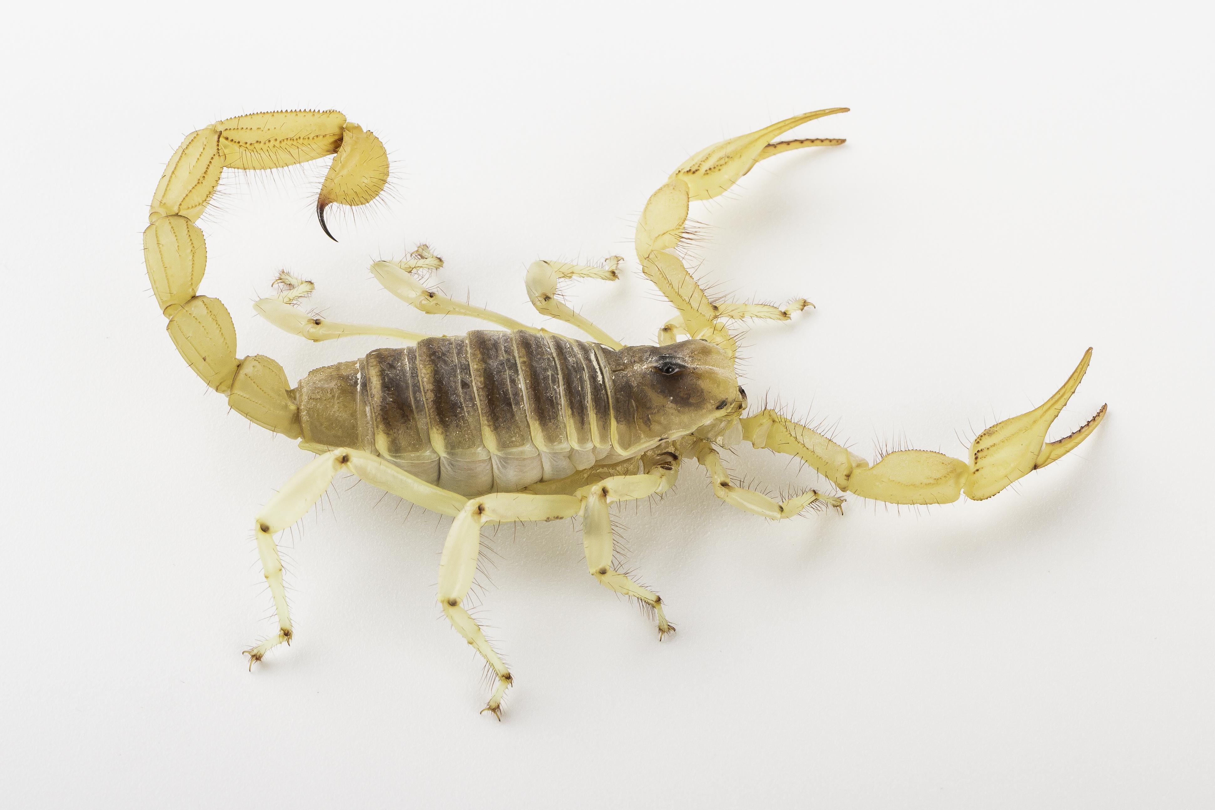 Hadrurus arizonensis-4918