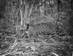 29_Jaguar_28m120