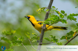 Copy of Yellow-tailed Oriole (Icterus me