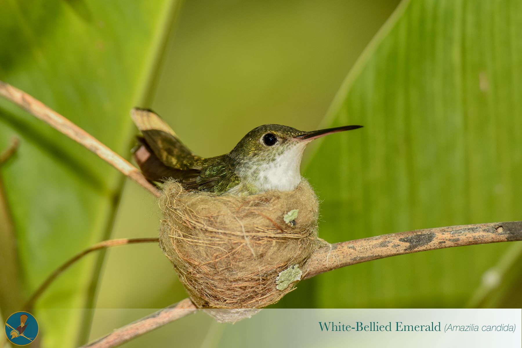 Copy of White Bellied Emerald