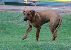 Rhodesian ridgeback young dog