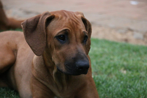 Rhodesian ridgeback young dog