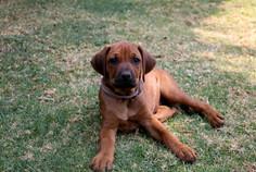 Rhodesian Ridgeback puppy; Thabatemba Fudge
