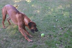 Rhodesian Ridgeback dog; beautiful dog