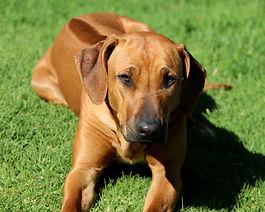 Rhodesian ridgeback dog; beautiful ridgeback dog; Thabatemba Lady Butterfly