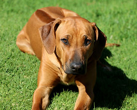 Rhodesian ridgeback dog; beautiful ridgeback dog; Thabatemba Lady Butterfly