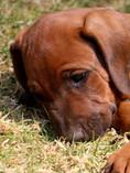 Rhodesian Ridgeback puppies