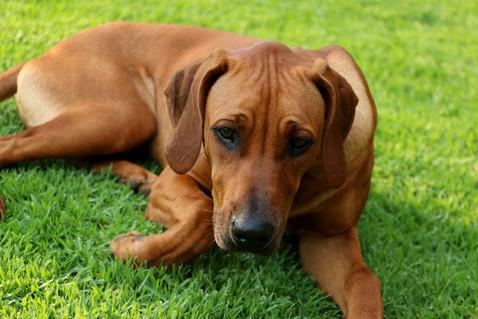 Rhodesian Ridgeback dog; Thabatemba Fudge