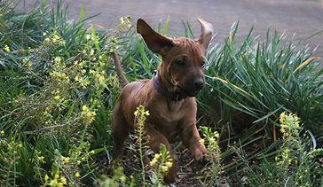 Rhodesian ridgeback puppy; KUSA registered ridgeback puppy; ridgeback puppy playing in flowers