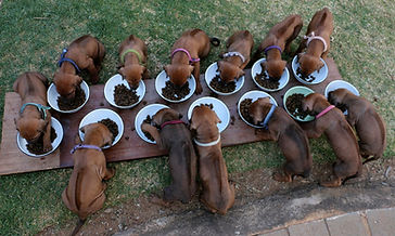 Rhodesian ridgeback puppy; KUSA registered ridgeback puppy; puppies eating together