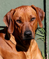 Rhodesian Ridgeback dog; beautiful ridgeback dog; Thabatemba Ntsimbi Fudge
