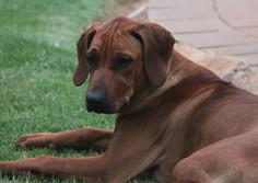 Rhodesian Ridgeback young dog; Thabatemba Fudge