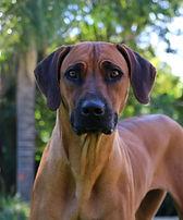 Rhodesian Ridgeback dog; beautiful ridgeback dog; Browdeen Bonvu Chutney of Thabatemba