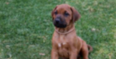 Rhodesian ridgeback puppy; KUSA registered ridgeback puppy