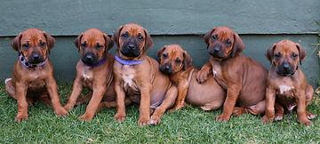 Rhodesian ridgeback puppy; KUSA registered ridgeback puppy; puppy family photo
