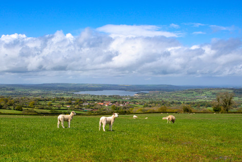 Lambs overlooking Chew Valley Lake