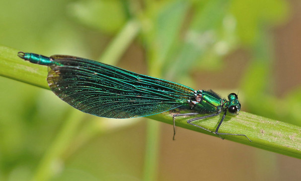 Broad winged damselfly-01.jpeg