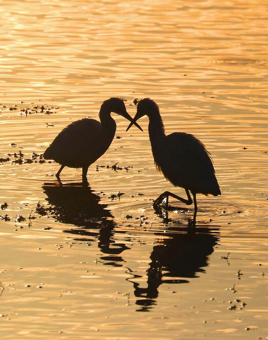 Little Egrets at dawn