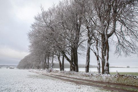 Line of Trees in the Snow