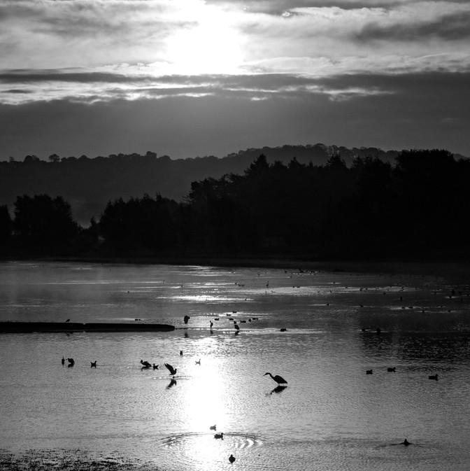 Egrets in B&W