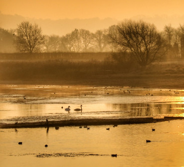 Swans in the mist