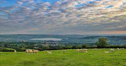 Sheep 3618
