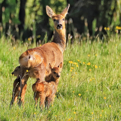Roe Deer and Young