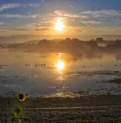 Sunflower at Dawn
