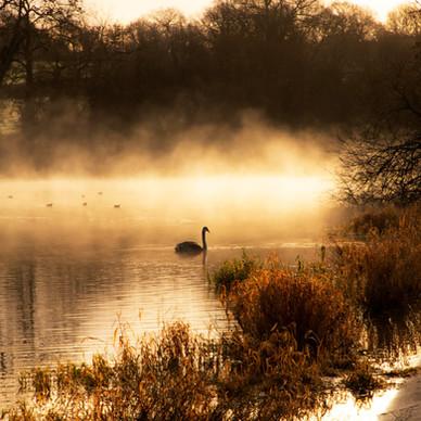 Misty Swan Silhouette
