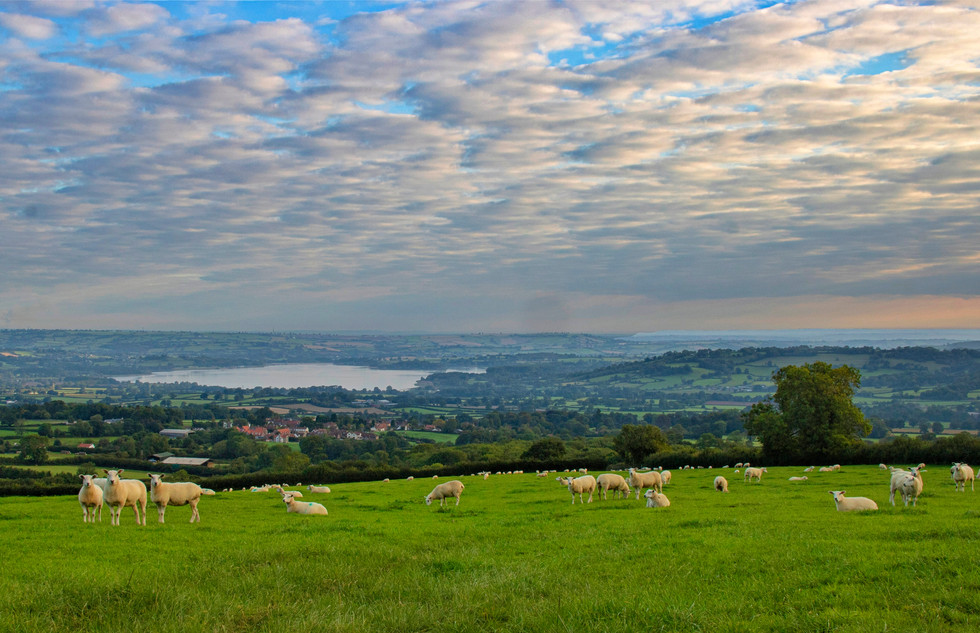Sheep overlooking Chew Valley Lake