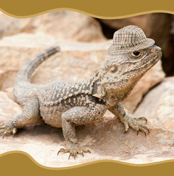Old Lizard with a Tweed Hat