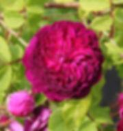 ruusu1.jpg