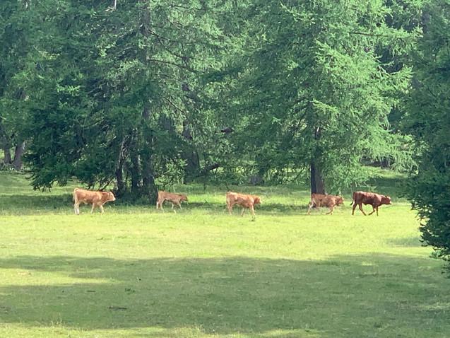 troupeux de vache de valberg