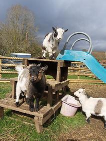 H.A.C.K. Horse Goats