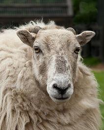 H.A.C.K. Horse Sheep