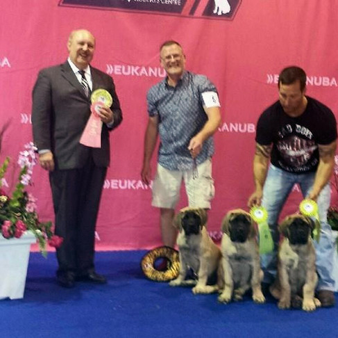 Puppies go the Mastiff Nationals!