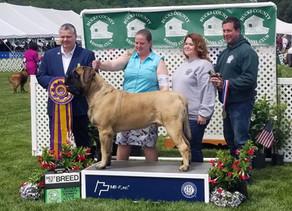 Ash wins 2019 Bucks County Kennel Club Best of Breed