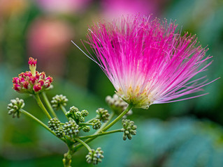 Persian silk tree // mimosa medicine : a love story