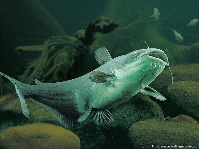 catfish.jpeg