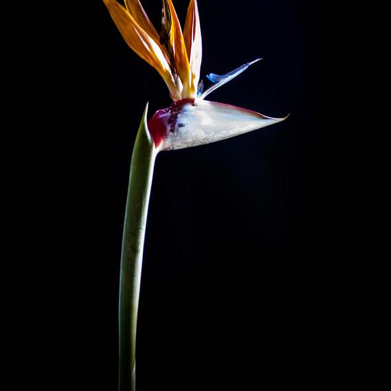 Low-Key Crane Flower