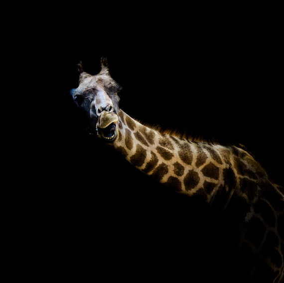 Low-Key Giraffe