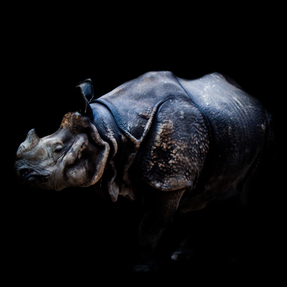 Low-Key Indian Rhinoceros