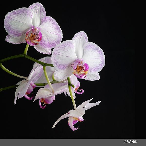 Orchid 2 1000.jpg