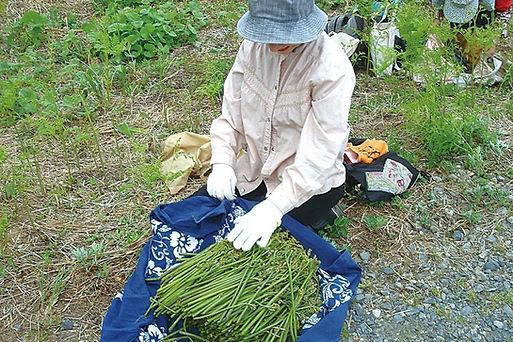 ワラビ収穫いめイメージ
