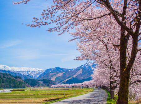 【更新情報】胎内川千本桜ウォーク