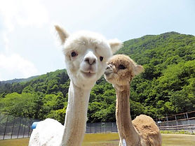 alpaca (1).jpg